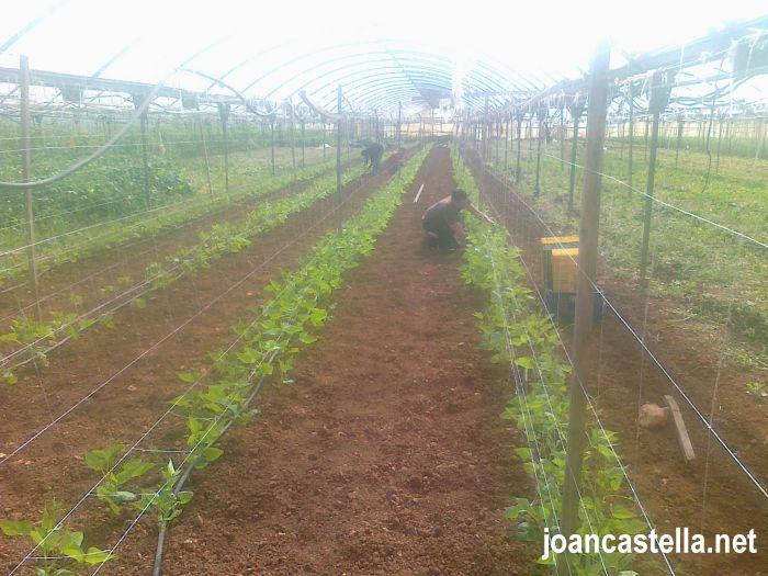 Verdures Ecològiques Joan Castellà > <b>COM ESTÀ L´HORT</b> > Enramant les mongetes