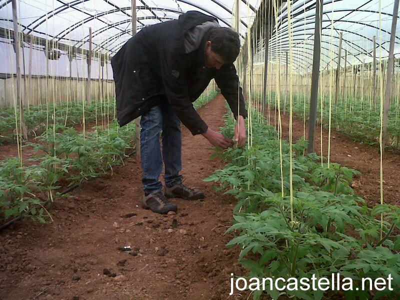 Verdures Ecològiques Joan Castellà > <b>COM ESTÀ L´HORT</b> > Ja estem enramant les tomaqueres