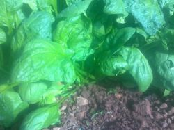Our spinach plants