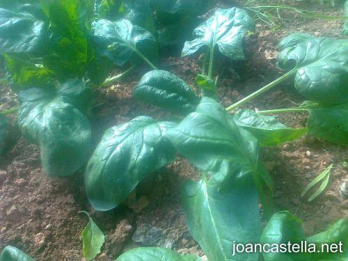 Verdures Ecològiques Joan Castellà > <b>COM ESTÀ L´HORT</b> > La nostra plantació d´espinacs