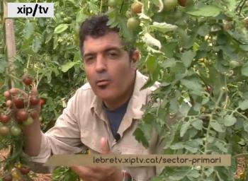 SECTOR PRIMARI DE XIP/TV FA UN REPORTATGE SOBRE LES NOSTRES VARIETATS DE TOMÀQUETS
